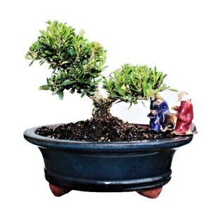 Boxwood Bonsai Tree Kit
