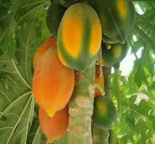 US 25 SeedS Sweet Fesh Rare Red Papaya Dwarf Fruit Plants Outdoor Delicious.