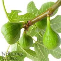 Lattarula Italian Honey Fig Ficus Carica Live Plant Blanche Royale, Marseilles