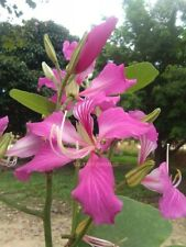 10 FRESH THAI ORCHID TREE BAUHINIA SEEDS