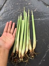 10x Lemon Grass Plant Stalk Organic Easy Grow Plants Use As Cooking Or Medical