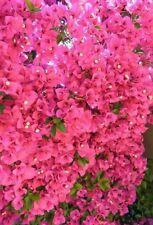 5 PZ Pianta di Bouganville Bougainvillea Rampicante arredo giardino vaso 7