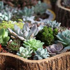 50X Mixed Lithops Seeds Living Stones Succulent Cactus Four Seasons Potted Plant