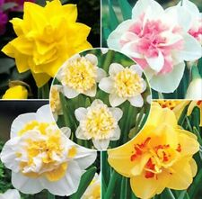 25 DOUBLE DAFFODIL SUPER MIXED BULBS ☆ Premium Narcissus ☆ SCENTED ☆ Replete
