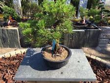 Pinus Bonsai-Bäume
