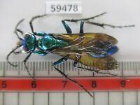 59478*****Hymenoptera, Ampulicidae?. Vietnam South*****
