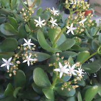 Pretty Jade Crassula Ovata Red Colorful Cactus Succulent Plant Flower 3 Cuttings
