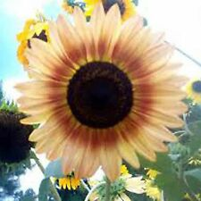 SUNFLOWER 50 SEEDS Autumn Beauty Helianthus Annuus Flower Giant Annual Tall Oil
