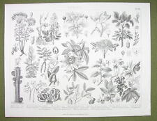 BOTANY Plants Pistachio Holly Walnut Begonia Maple Tree - 1870s Engraving Print