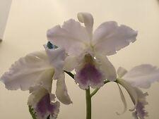 Cattleya labiata Coerulea