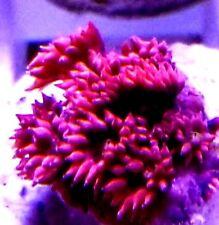 Rare Cherry Red Goniopora Australia Live Coral Lps Aquarium Reef Tank