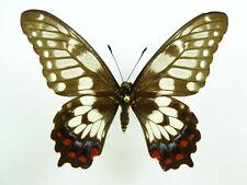 Papilio anactus ssp. ? Weibchen