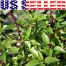 150+ ORGANICALLY GROWN Thai Basil Seeds Heirloom NON-GMO Fragrant Herb From USA
