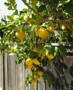 1M Large 'Eureka' Lemon Citrus Tree Fruit in 6L Pot Garden Outdoor