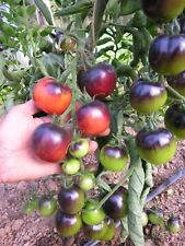 Tomato Indigo Rose Certified Organic High In Anthocyanin CANCER FIGHTER 30 SEEDS