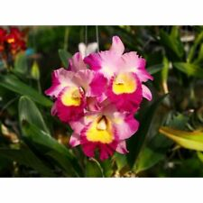 (111a1) Rlc.Feng Hua One 'Little red dot Fragrant mature size