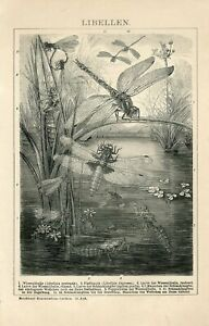 1895 DRAGONFLY DRAGONFLIES Antique Engraving Print