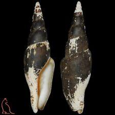 Mitra Fusimitra swainsoni swainsoni, Mexico, Mitridae sea shell