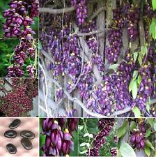 2 semilla Mucuna sempervivens seeds seed tree