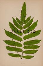 "Lowe's Ferns - ""ASPIDIUM CLANDULOSUM"" Pl. IX Volume 7 - Chromolithograph - 1856"
