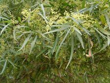 Rhus lancea (10 graines)