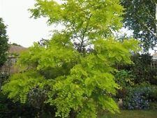 50 x False Acacia tree seeds Black Locust (robinia pseudoacacia)  seeds.