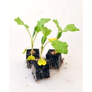 Gemüsepflanzen - Kohlrabi / Weisser - Brassica oleracea - verschiedene Mengen