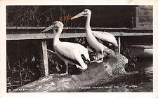 BR44022 pelicans Klamath Lakes ore birs oisseaux animaux animals
