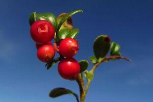 i! die PREISELBEERE !i winterhart frosthart Garten lecker und sehr gesund