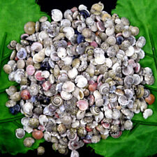 30g MINI Natural Beautiful top rare real sea Shell Conch aquarium YBK237