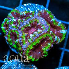 New listing Asd - 008 Sour Cookie Acan - Wysiwyg - Aqua Sd Live Coral Frag
