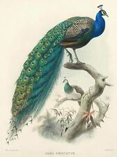 ART PRINT DRAWING ANIMAL PEACOCK BIRD SCIENTIFIC PAVO CRISTATUS NOFL0611