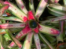 bromeliad world conference special 'rc 144'