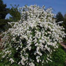 Plantes exochorda macrantha the bride pot 3 litres 60/80 cm