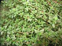 Thyme Seeds Common Thyme 1,000 Herb Seeds