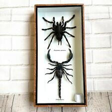 More details for tarantula spider + forest scorpion insect display case box frame taxidermy bug