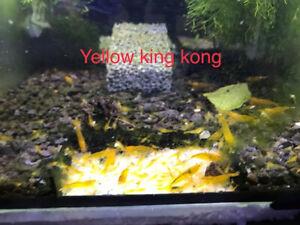 crevette yellow king kong x10 eau douce aquarium