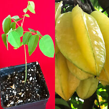 Star Fruit Averrhoa Carambola Bell Seedling Potted Starfruit Plant Tree