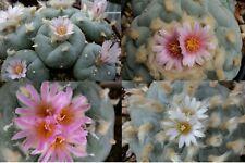 Lophophora Peyote Mischung mixture 50 Korn Samen seeds