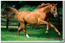 Brown Horse Galloping - Equestrian Animal Print  POSTER