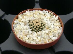 Pediocactus knowltonii SB 304 !!! OWN ROOTS !!! Rare Cactus 01195
