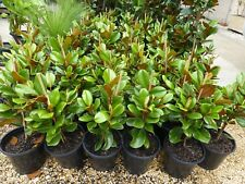 Plants Magnolia Teddy Bears   250mm pots  apprx 50cm  hgt    $80-ea BEAUTIFUL