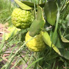 20x Kaffir lime seeds home grown organic