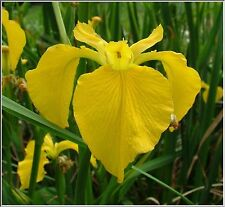 Water Plants- Iris pseudacorus  hybrid  'Come On Spinner'