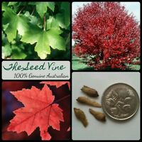 10+ RED MAPLE SEEDS (Acer rubrum) Canadian October Glory Autumn Red Deciduous