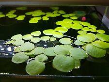 Planta flotante de acuario Limnobium Laevigatum