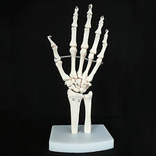 Life Size Human Hand Joint Skeleton Anatomical Model - Medical Anatomy