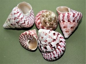 Strawberry Top Turbo Snail Clanculus puniceus Mixed Sea Shells Med Large 5 Pack