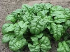 100 GIANT NOBLE SPINACH 2020 (all non-gmo heirloom vegetable seeds!)