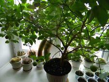 50Pcs Rare Seeds Ficus Lyrata Indoor Potted Balcony Banyan Tree Bonsai Garden